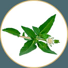 ChiChi_ChocolateBar_Ingredients_reCharge_Bar-Recovered_Eclipta-Herb_Circle_Yin_Bar